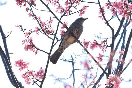 2014.03.18 和泉川 オカメザクラにヒヨドリ 春一番 逆光