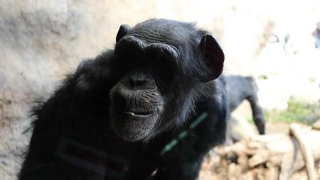 2014.03.24 ズーラシア チンパンジー