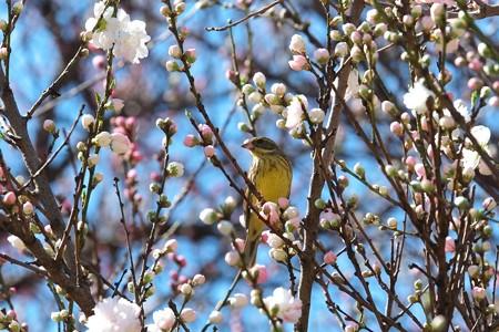 2014.03.31 和泉川 モモにアオジ