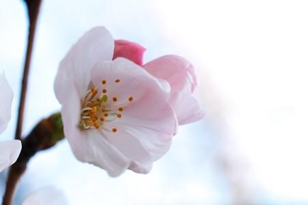 2014.04.01 和泉川 サクラ 染井吉野
