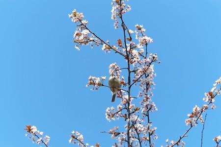2014.04.01 和泉川 サクラにウグイス