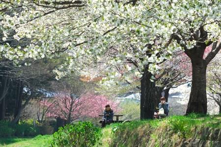2014.04.07 和泉川 桜の下