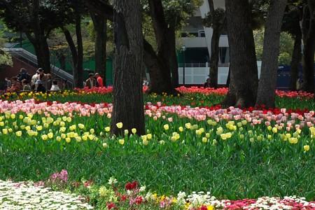 2014.04.09 横浜公園 チューリップ 13