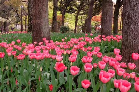 2014.04.09 横浜公園 チューリップ