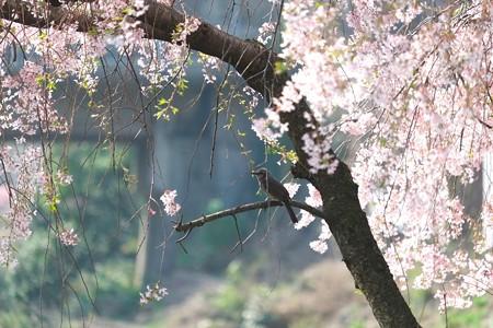 2014.04.10 和泉川 シダレザクラにヒヨドリ