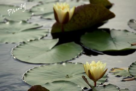 睡蓮の池・・2