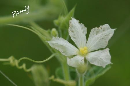 うり科の花・・4