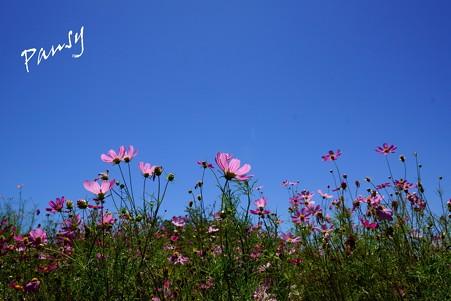 青い空と・・コスモスと・・1