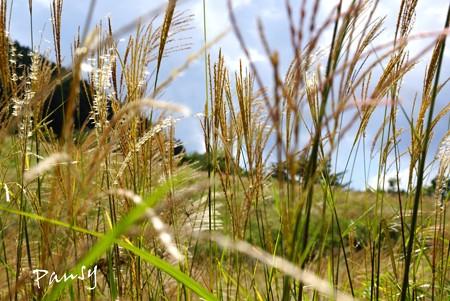 仙石原すすき草原・・2