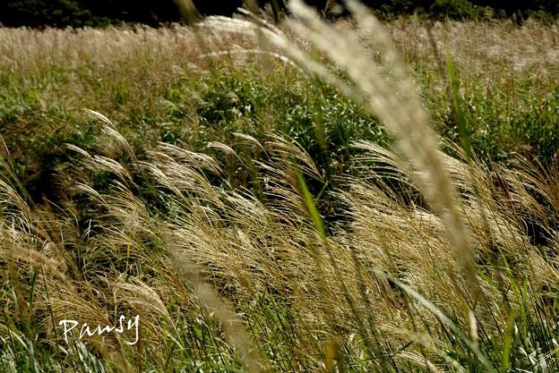 仙石原すすき草原・・3