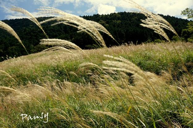仙石原すすき草原・・4