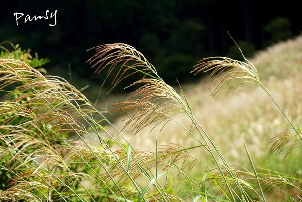 仙石原すすき草原・・13