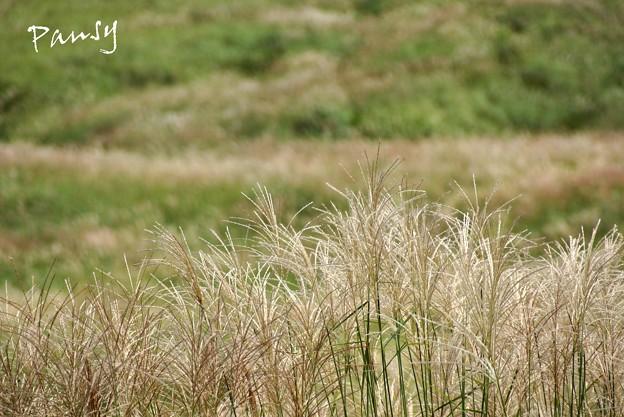 仙石原すすき草原・・15