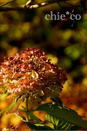 季節をこえて・・冬の紫陽花・・