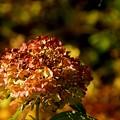 写真: 季節をこえて・・紫陽花・・