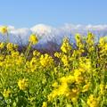 写真: 菜の花と・・富士山と・・1