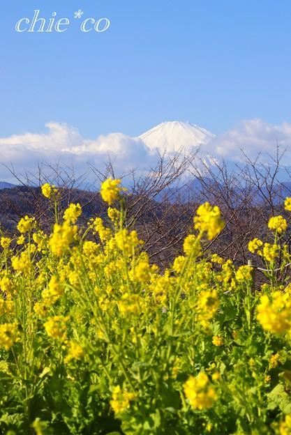 写真: 菜の花と・・富士山と・・2