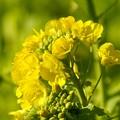 写真: 早咲きの菜の花・・1