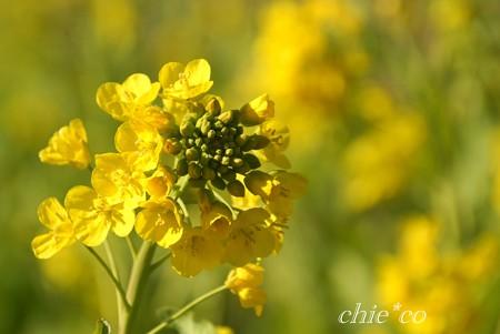早咲きの菜の花・・2