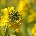 写真: 早咲きの菜の花・・2