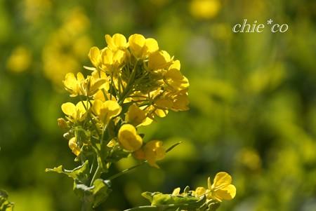 早咲きの菜の花・・3