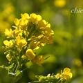 写真: 早咲きの菜の花・・3
