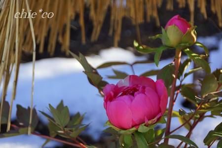 雪牡丹・・2