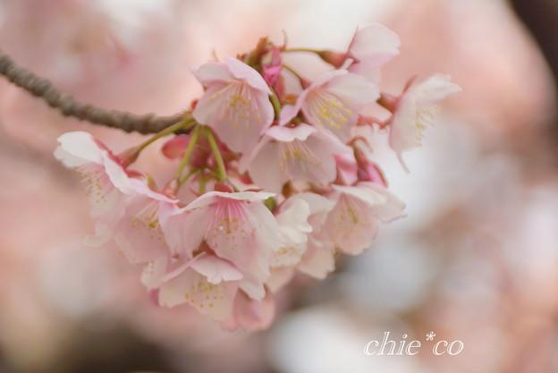 あたみ桜~1