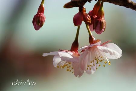 あたみ桜~2