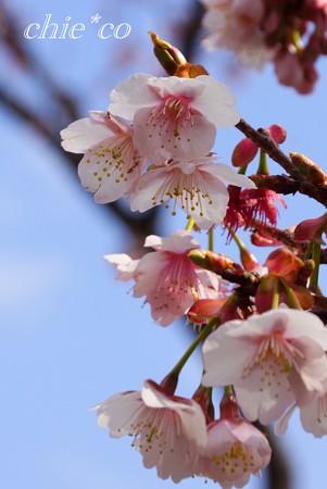 あたみ桜~3