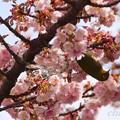 メジロさんのいる・・あたみ桜・・