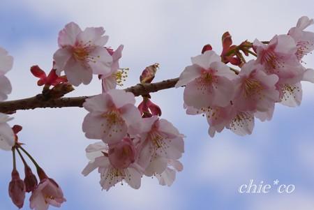 あたみ桜~5