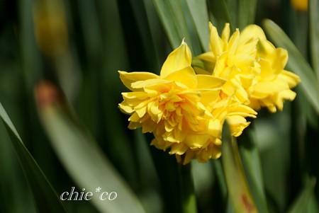 八重咲きの黄水仙・・