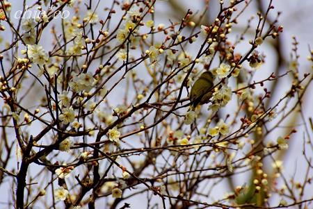 メジロが寄り添う梅の樹・・