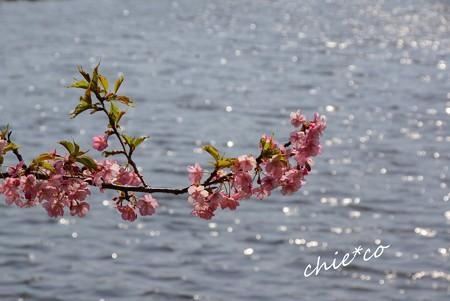 河津桜~三浦海岸~ 163
