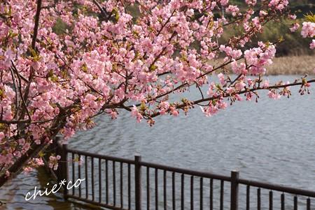 河津桜~三浦海岸~ 162