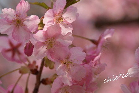 河津桜~三浦海岸~ 172