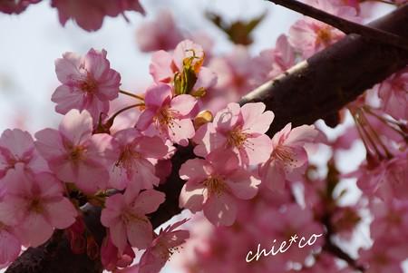 河津桜~三浦海岸~ 169