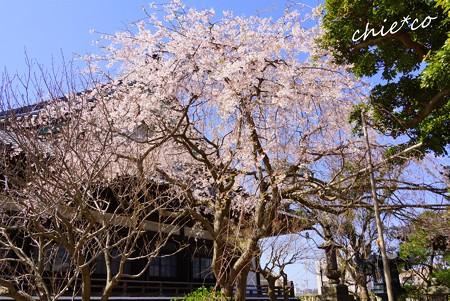 桜彩の本覚寺..1