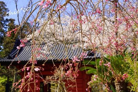 桜彩の妙本寺..17