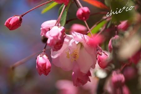 海棠の花・・