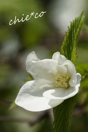 白山吹・・4枚の花びら・・