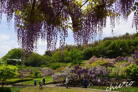 藤~横須賀しょうぶ園 7