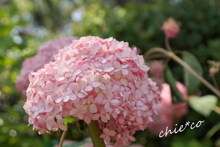 ピンクのアナベル・・