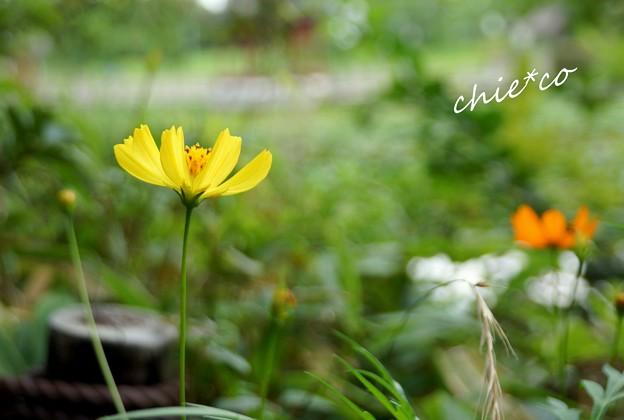 黄色のコスモス・・