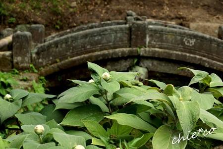 玉あじさいの蕾と・・石の橋・・