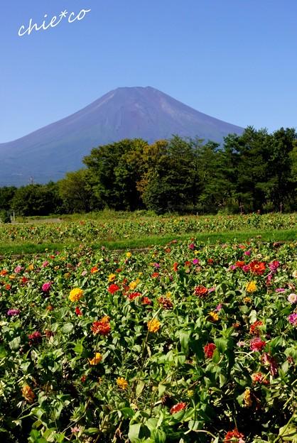 ジニアのお花畑と・・富士山と・・