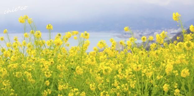 写真: 海のみえる菜の花畑・・