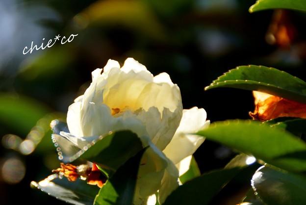 白い椿・・