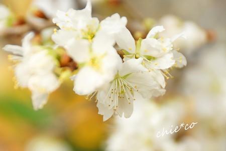 しなみ桜・・